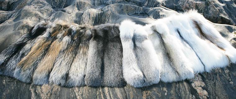 Palette de couleurs des fourrures de renard Saga Furs