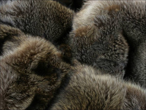 american raccoon